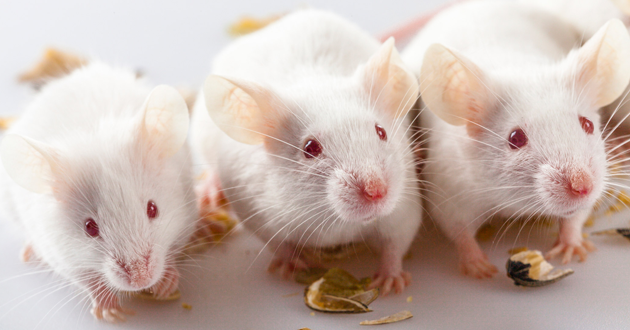 NAD Supplement NMN Boosts eNAMPT in mice