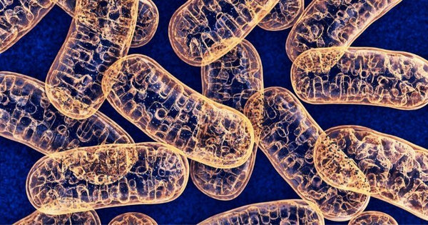 Mitochondria are our cells' energy powerhouses.