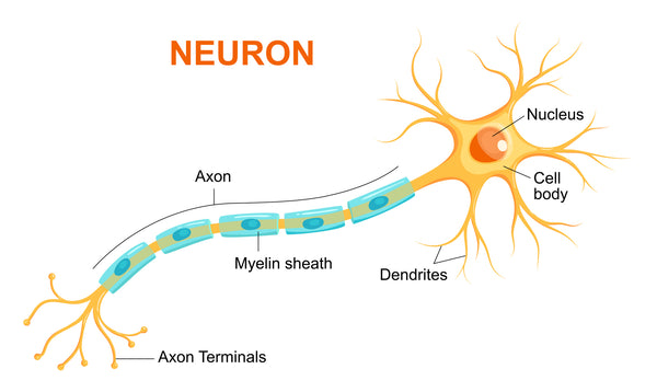A special sheath called myelin that covers the projections of neurons is especially sensitive to neuroinflammation.