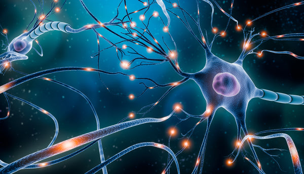 dendrites are the branch-like area off the ends of neurons that receive signals from other cells, acting like an antenna