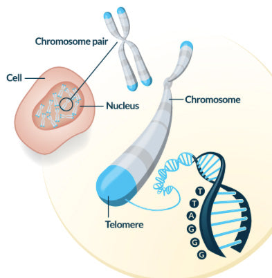 Telomere, chromosome, cell graphic