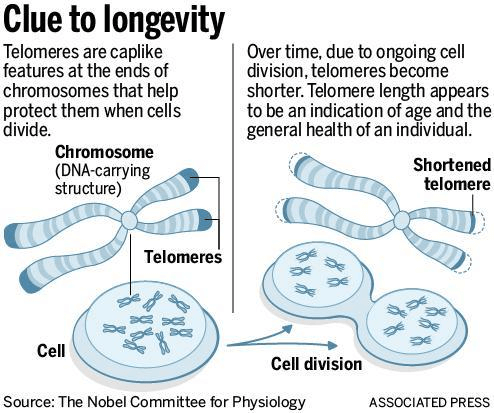 Telomeres- Clue to Longevity