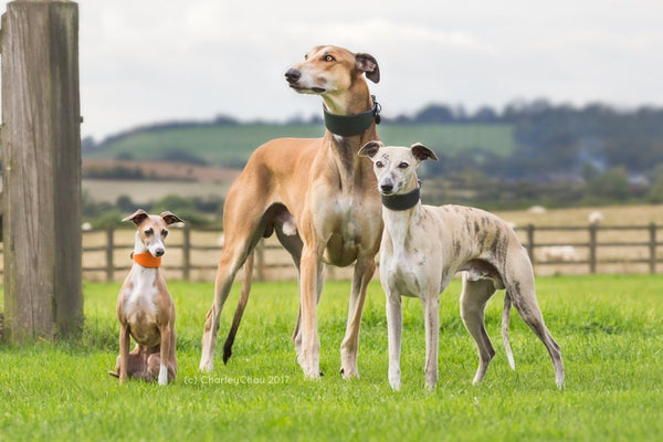 Sighthound Collars & Leads
