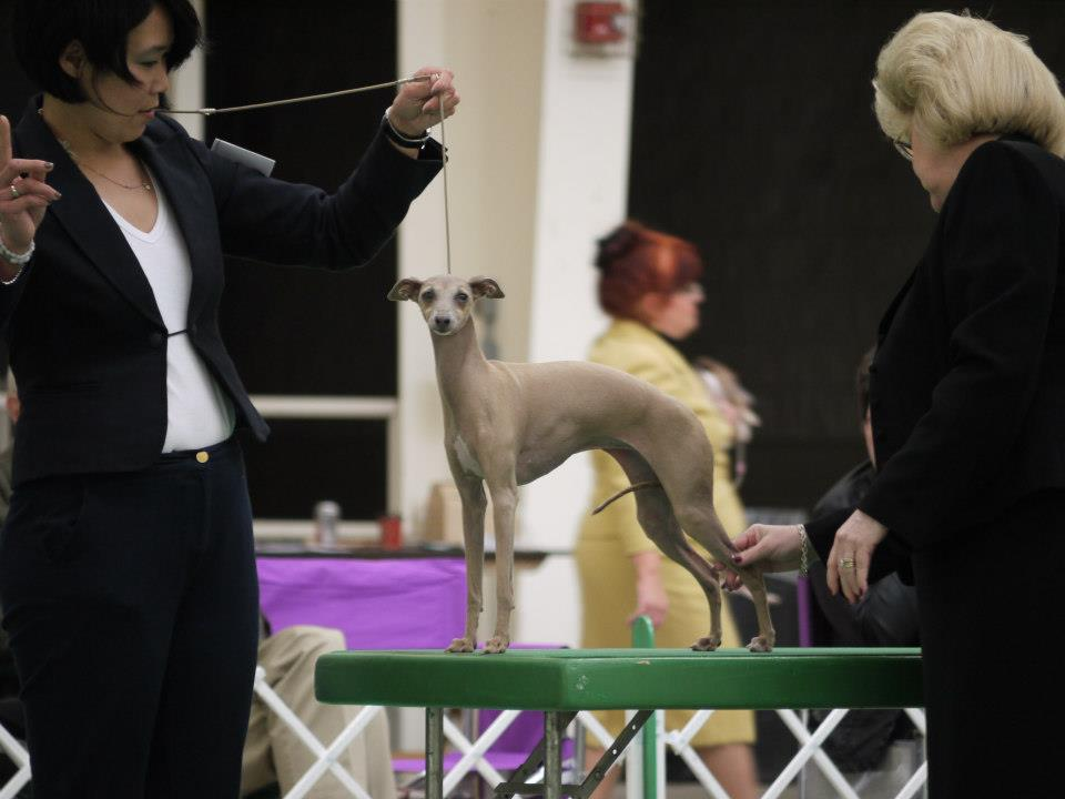 Anna competing at the Italian Greyhound Club of America National Speciality Show in 2012