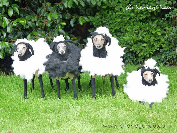 Dogs in fancy dress - Italian Greyhounds dressed as sheep