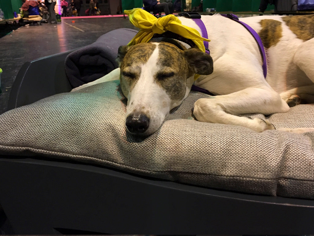 Bella the Lurcher, Scruffts 2016 Best in Show Winner