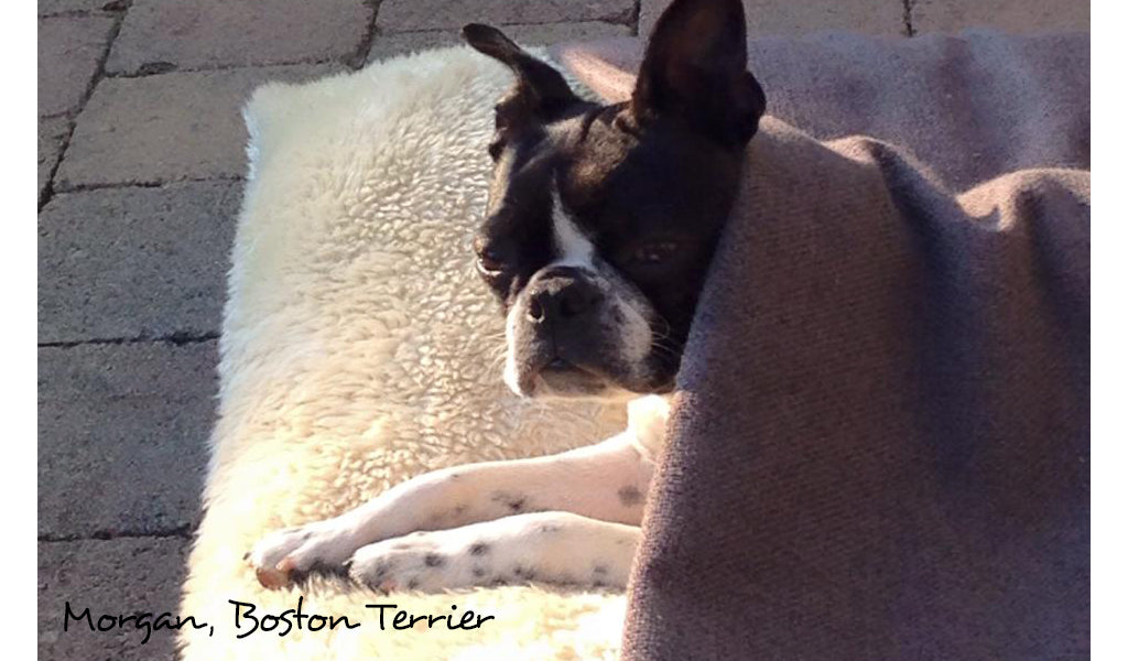 Boston Terrier Tunnel Bed by Charley Chau