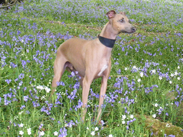 Charley in the bluebell wood