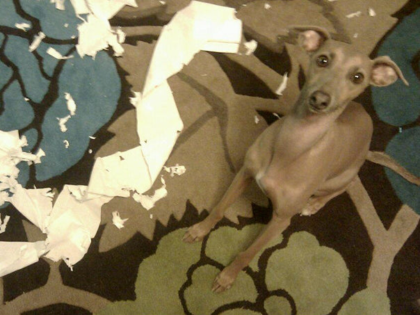Charley - caught shredding paper