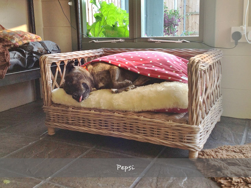 Pepsi in her Snuggle Bed on the Raised Rattan Dog Bed