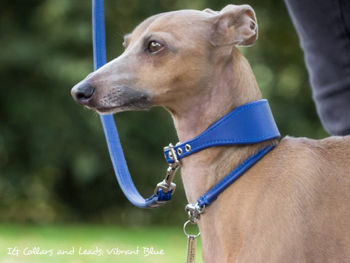 Bespoke Italian Greyhound Collar - Vibrant Blue