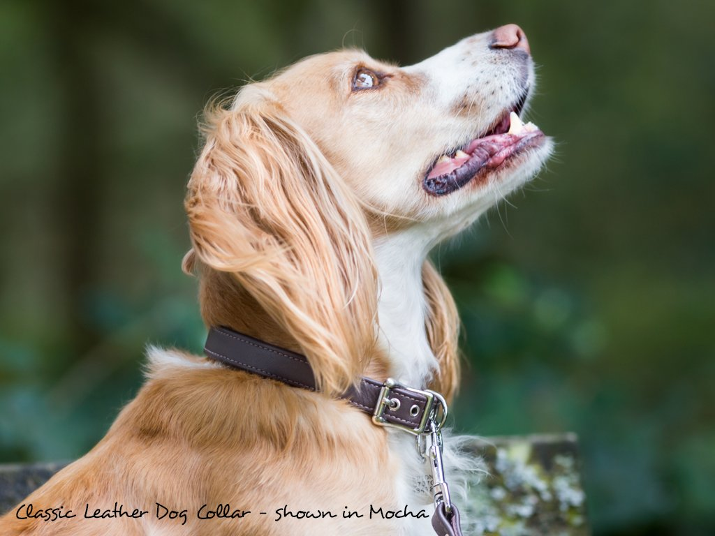 Classic Leather Dog Collar in Mocha modeled by Woody, Working Cocker Spaniel