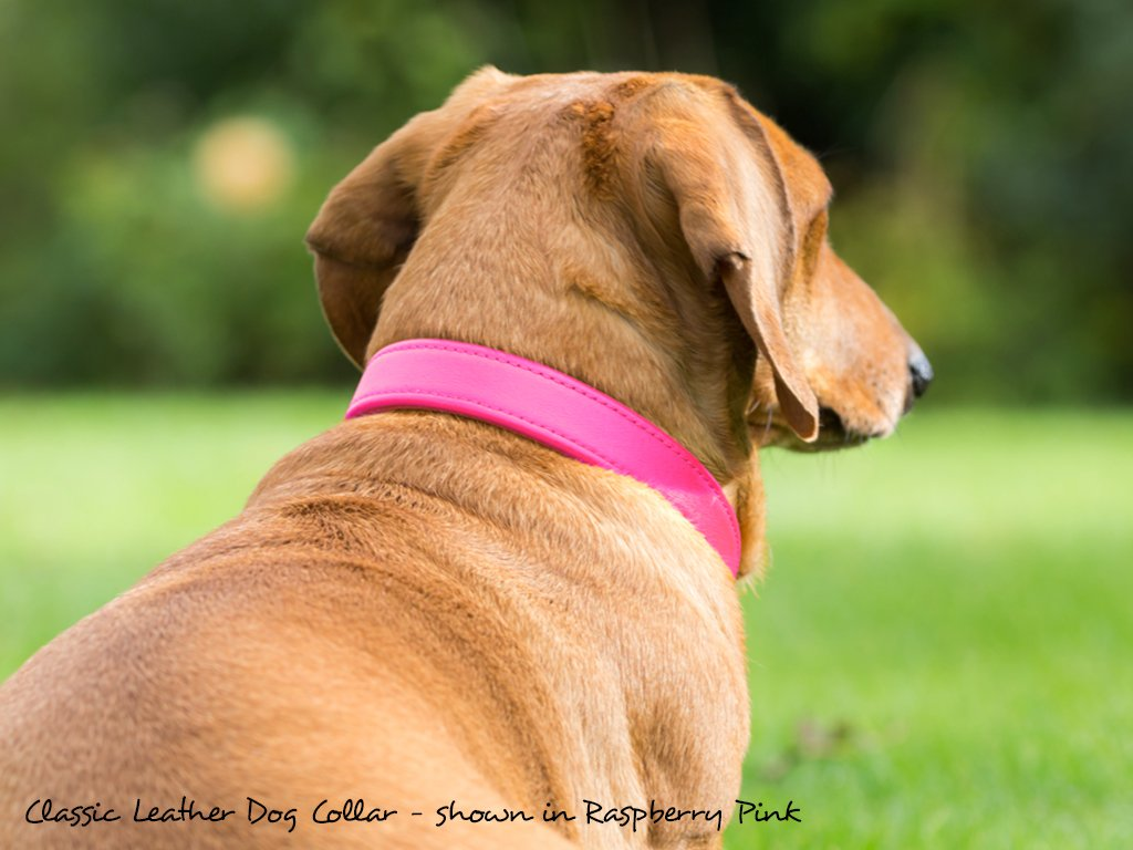 Classic Leather Dog Collar in Raspberry Pink modeled by Bertie, Miniature Dachshund