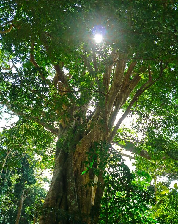 The Magic Ancient Bodhi Tree