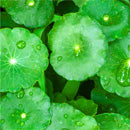 Ingredient Gotu Kola - Botanical Ingredient