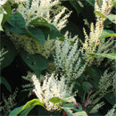 We use the ingredient Japanese Knotweed in ANJALI MD Skincare Dark Spot Eraser - Brightening Mask