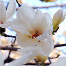 Ingredient Magnolia - Botanical Ingredient