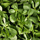 Ingredient Purslane - Botanical Ingredient