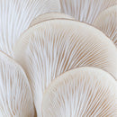 Botanical ingredient songyi mushroom