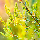 Ingredient Tea Tree - Botanical Ingredient