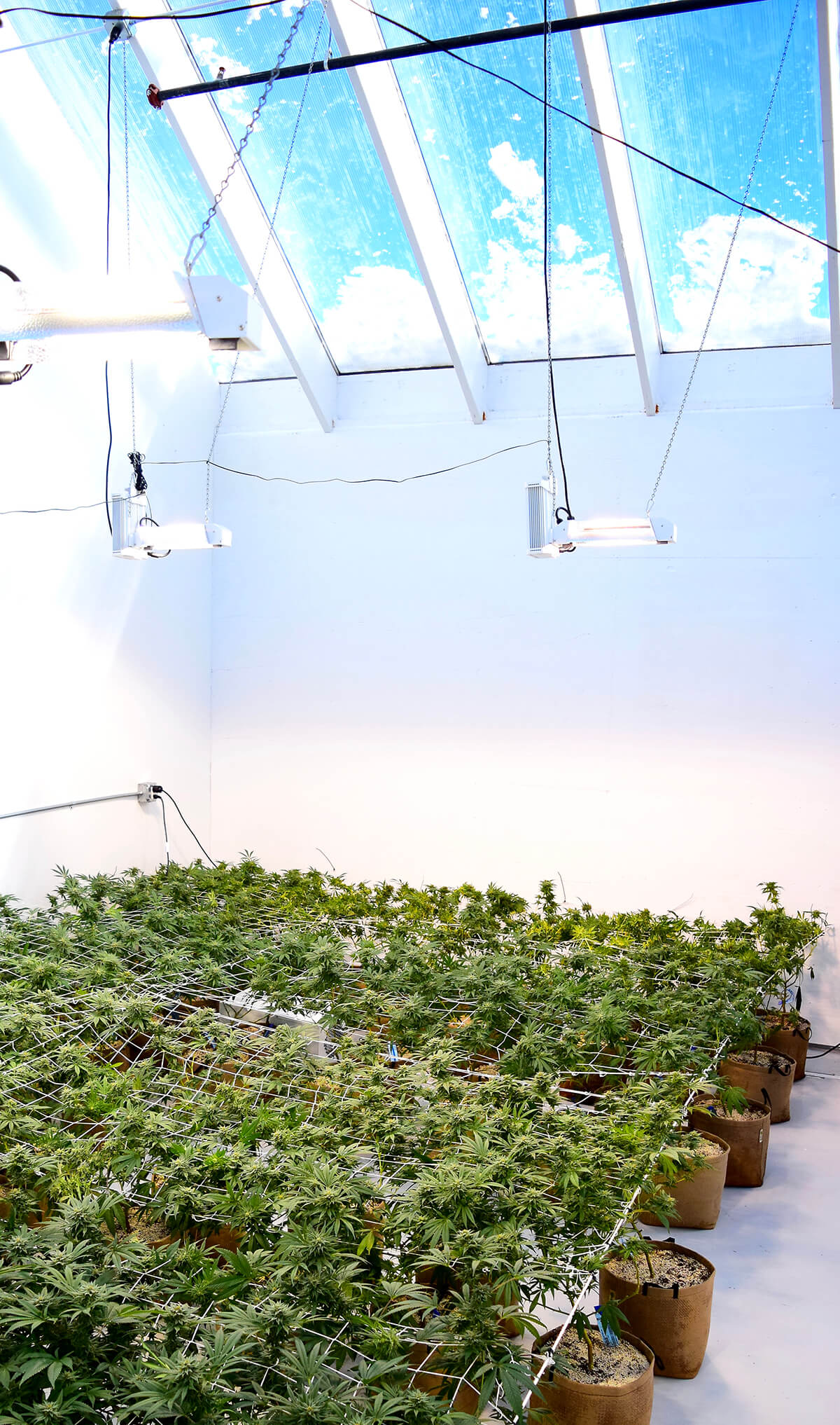 Cannabis plants at The Flower Collective