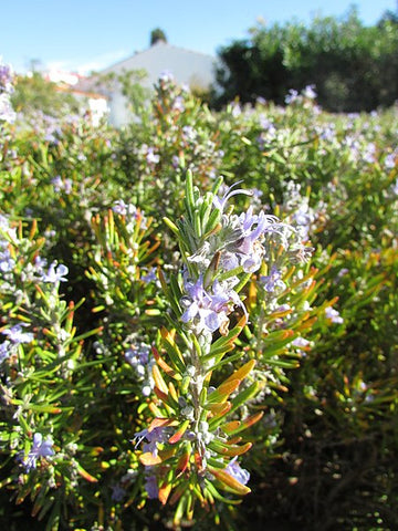 Rosemary - plants great in a GeoPot