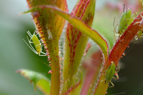 Aphids on plants in garden