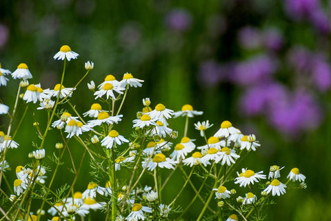 Chamomile - besides being a relaxing tea, this herb in a GeoPot repels pests
