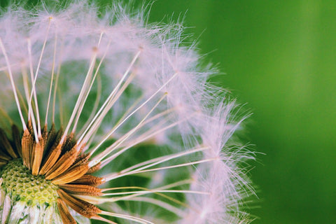 Dandelion. Geoplanter helps with weed control in your garden.