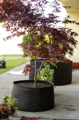 Japanese Maple in a GeoPot