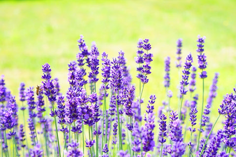 Lavender - a Geoplanter would do well for this large plant