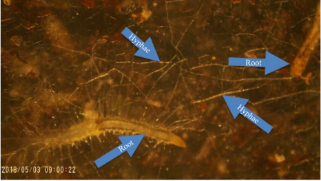 Mycorrhizal Hyphae in Plant Roots