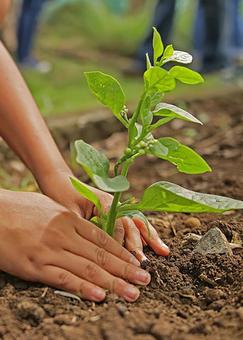 Patting soil around a transplanted plant