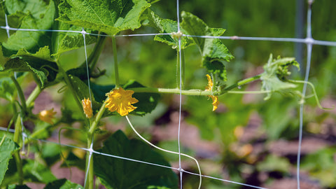 Trellis netting with climbing plant