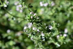 Fresh thyme leaf and flower