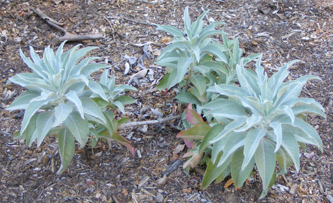 White Sage Plants for Essential Oil