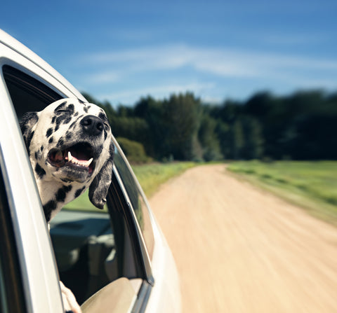 Dalmatian dog enjoying the summer sticking his head out of the moving car window