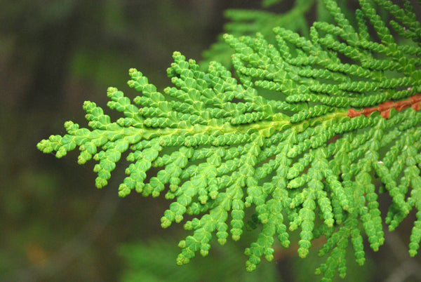 Thuja Essential Oil (Cedar Leaf)