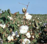 Aquatic Weed Killer For Cotton