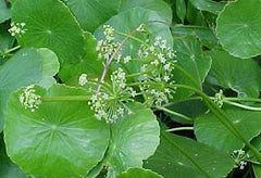 Water Pennywort Control