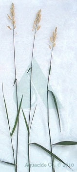 reed-grass