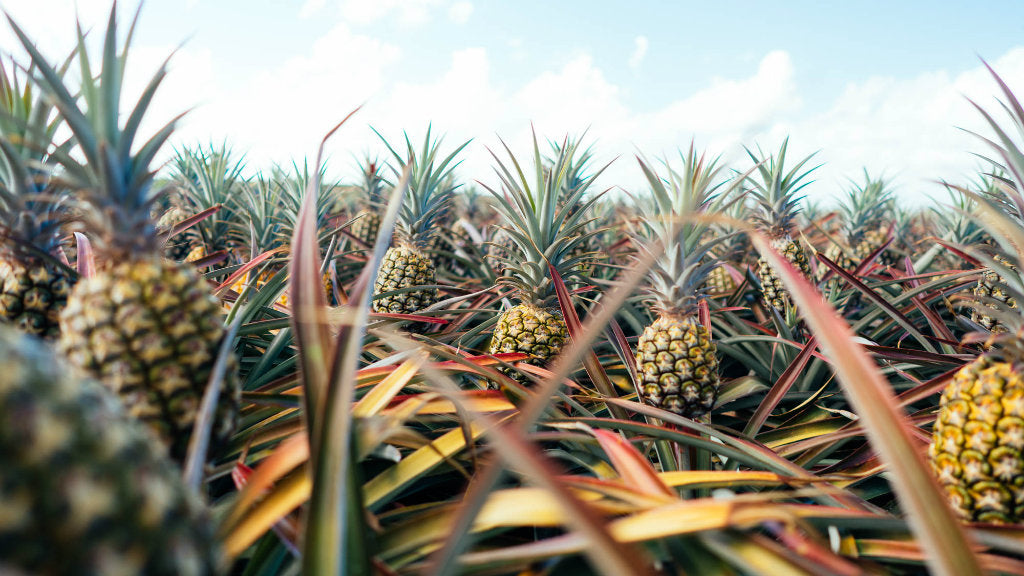 pure gold pineapples buy at harris farm