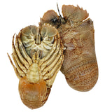 Moreton Bay Bugs whole and Raw | Harris Farm Online