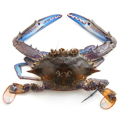 Crab - RAW Blue Swimmer (350-400g) Medium
