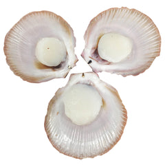 Scallops - Hervey Bay (per Dozen) Half Shell, Roe Off