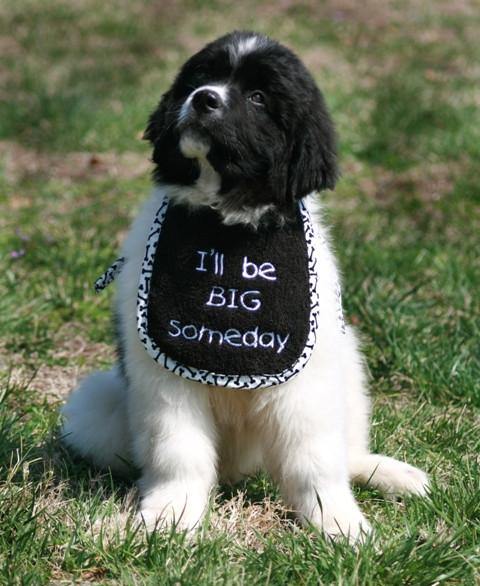 create your own personalized dog drool bib big gentle dogs