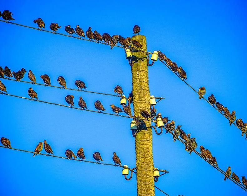 Birds on Cables Paint by Numbers