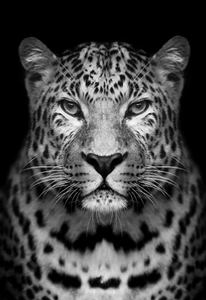 Black & White Leopard Paint by Numbers