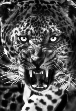 Load image into Gallery viewer, Roaring Leopard Paint by Numbers
