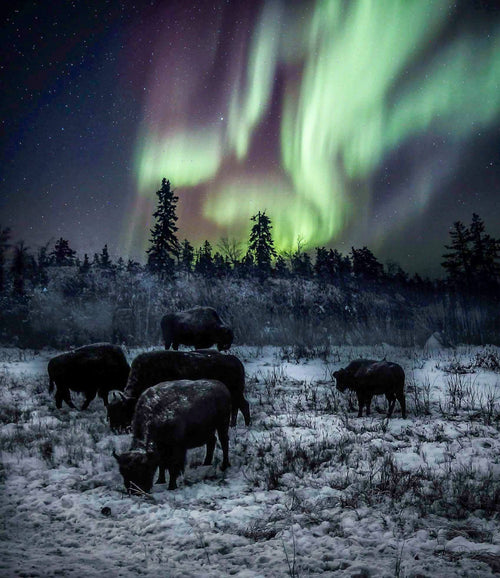 Bison of the Aurora